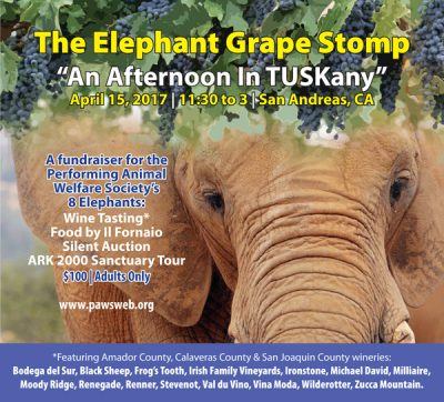 Elephant Grape Stomp: An Afternoon In TUSKany