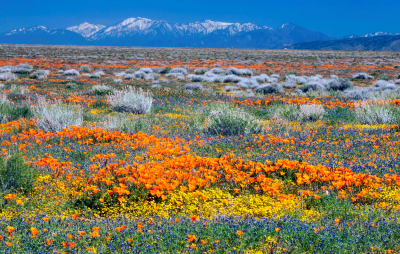 Beauty and the Beast: California Wildflowers and C...