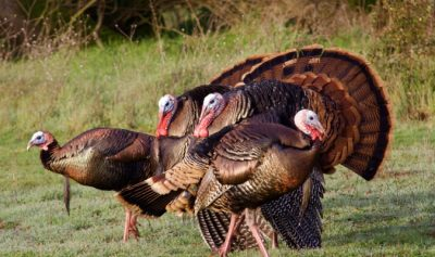 Great Gobblers