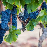 Zinfandel Stories from the Sierra Foothills