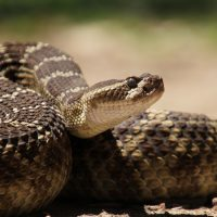 Golden-State Snakes: An Introduction to Some of California's Most Spectacular Serpents
