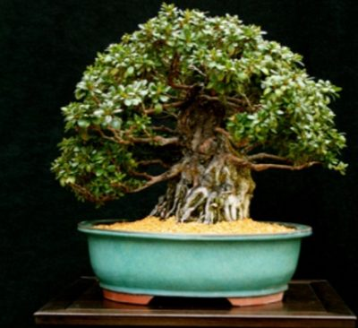 Bonsai and Suiseki Show