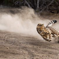 Photographing Big Cats (Postponed)