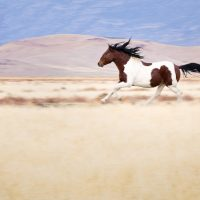 Photographing Wild Horses (Postponed)