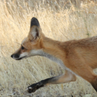 Peaks, Valleys, and Farms: Western Red Foxes (Cancelled)