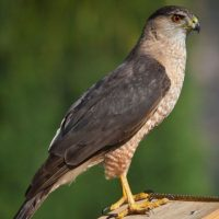 Raptors: Birds of Prey Day